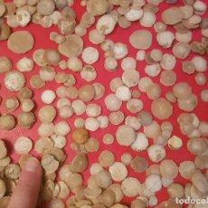 Coleccionismo de fósiles: LOTE 100 UDS FÓSILES FÓSIL FOSSIL NUMMULITE TIPO AMMONITE AMONITE NUMMULITES. Lote 128880231