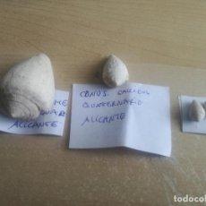 Coleccionismo de fósiles: LOTE DE CONUS DE QUATERNARIO DE ALICANTE. Lote 118085111