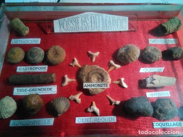 CAJA CON FÓSILES DE MARRUECOS (NO PUEDO ASEGURAR -GARANTIZAR EXACTITUD DE LA INFORMACIÓN QUE REGOGE) (Coleccionismo - Fósiles)