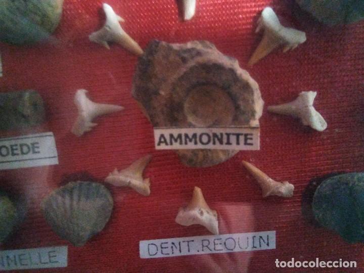 Coleccionismo de fósiles: Caja con Fósiles de Marruecos (no puedo asegurar -garantizar exactitud de la información que regoge) - Foto 2 - 118847207