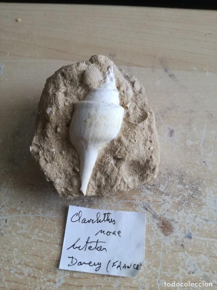 FÓSIL DE GASTERÓPODOS DE FRANCIA (Coleccionismo - Fósiles)