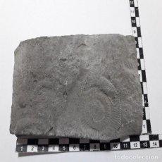 Coleccionismo de fósiles: FOSIL AMMONITES ORTHOSPINCTES POLYGIRATUS EN PLACA. JURASICO. PALEONTOLOGIA.OCASION,. Lote 120412015