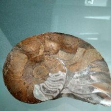 Coleccionismo de fósiles: FOSIL GONIATITES, PULIDO POR UNA CARA. Lote 121499943
