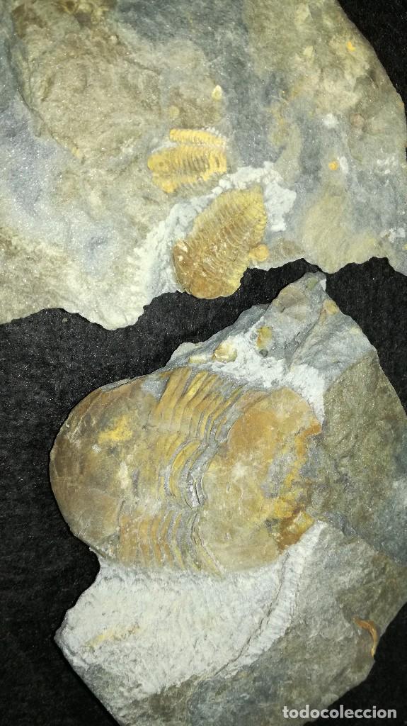 COLPHOCORYPHE ROUAULTI....ECTIALLENUS GIGANTEUS. (Coleccionismo - Fósiles)