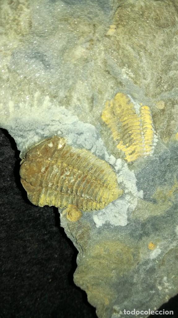 Coleccionismo de fósiles: Colphocoryphe rouaulti....Ectiallenus giganteus. - Foto 2 - 121553235