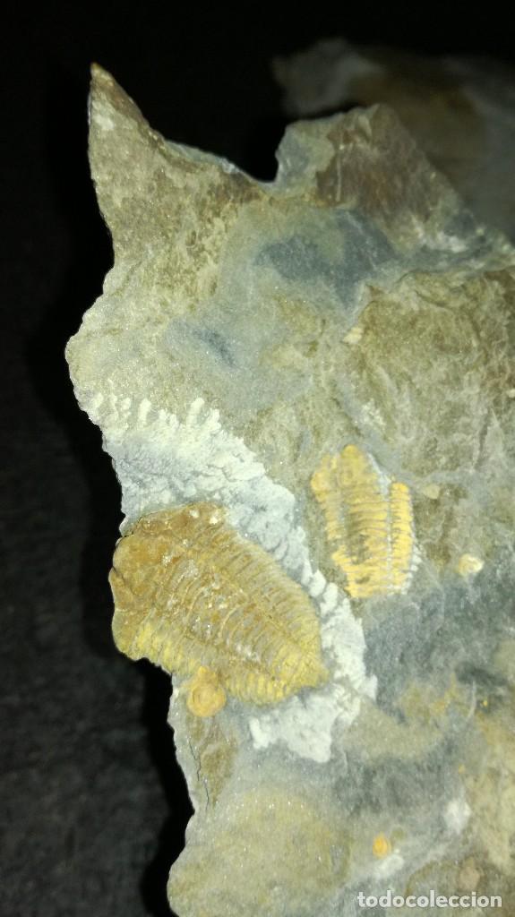 Coleccionismo de fósiles: Colphocoryphe rouaulti....Ectiallenus giganteus. - Foto 6 - 121553235