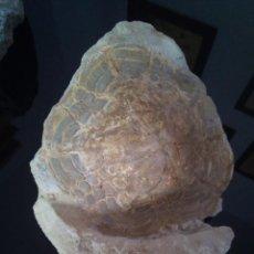 Coleccionismo de fósiles: ERIZO FÓSIL CLYPEASTER MARGUINATUS . Lote 122274147