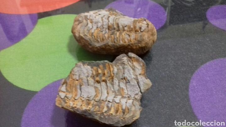 Coleccionismo de fósiles: Trilobites - Foto 2 - 122443386