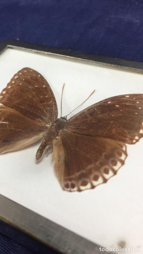 Coleccionismo de fósiles: antiguo y pequeño cuadro caja con mariposa disecada marrón metal y fieltro - Foto 2 - 122767979
