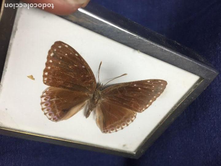 Coleccionismo de fósiles: antiguo y pequeño cuadro caja con mariposa disecada marrón metal y fieltro - Foto 3 - 122767979