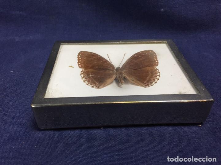 Coleccionismo de fósiles: antiguo y pequeño cuadro caja con mariposa disecada marrón metal y fieltro - Foto 4 - 122767979