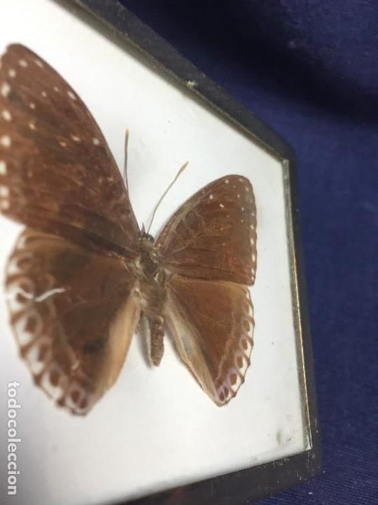 Coleccionismo de fósiles: antiguo y pequeño cuadro caja con mariposa disecada marrón metal y fieltro - Foto 5 - 122767979