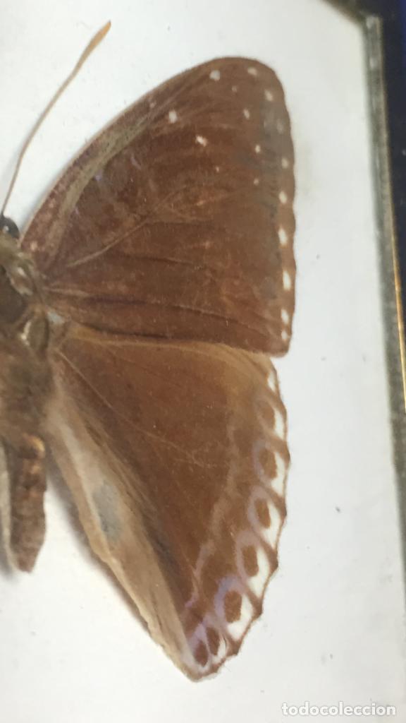 Coleccionismo de fósiles: antiguo y pequeño cuadro caja con mariposa disecada marrón metal y fieltro - Foto 6 - 122767979