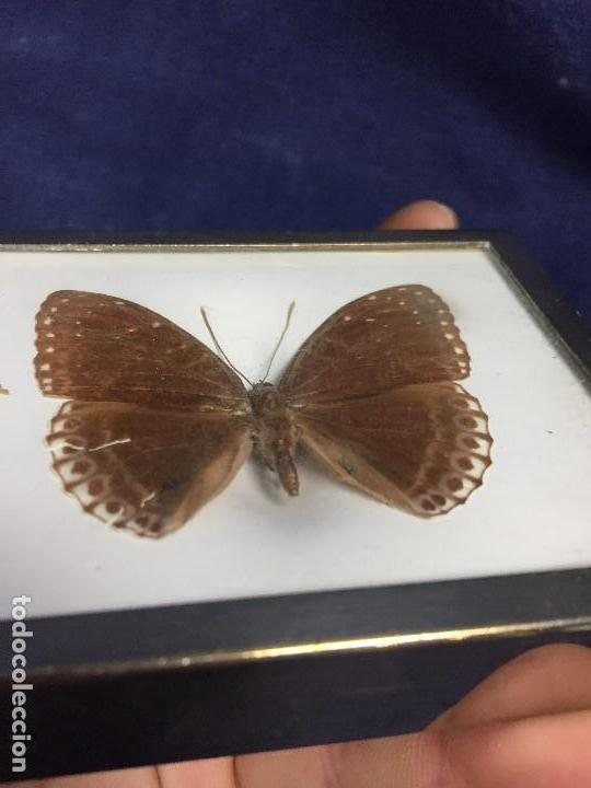 Coleccionismo de fósiles: antiguo y pequeño cuadro caja con mariposa disecada marrón metal y fieltro - Foto 8 - 122767979