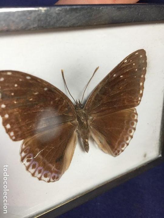 Coleccionismo de fósiles: antiguo y pequeño cuadro caja con mariposa disecada marrón metal y fieltro - Foto 9 - 122767979