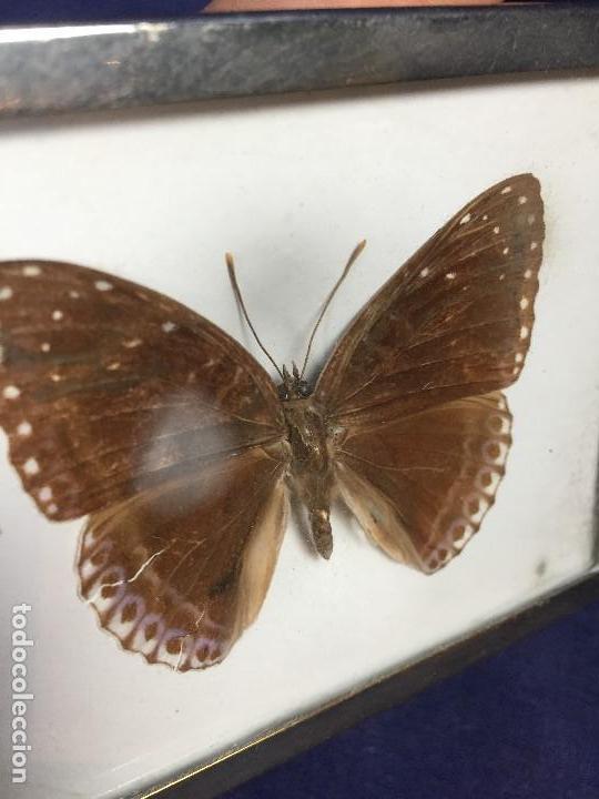 Coleccionismo de fósiles: antiguo y pequeño cuadro caja con mariposa disecada marrón metal y fieltro - Foto 10 - 122767979