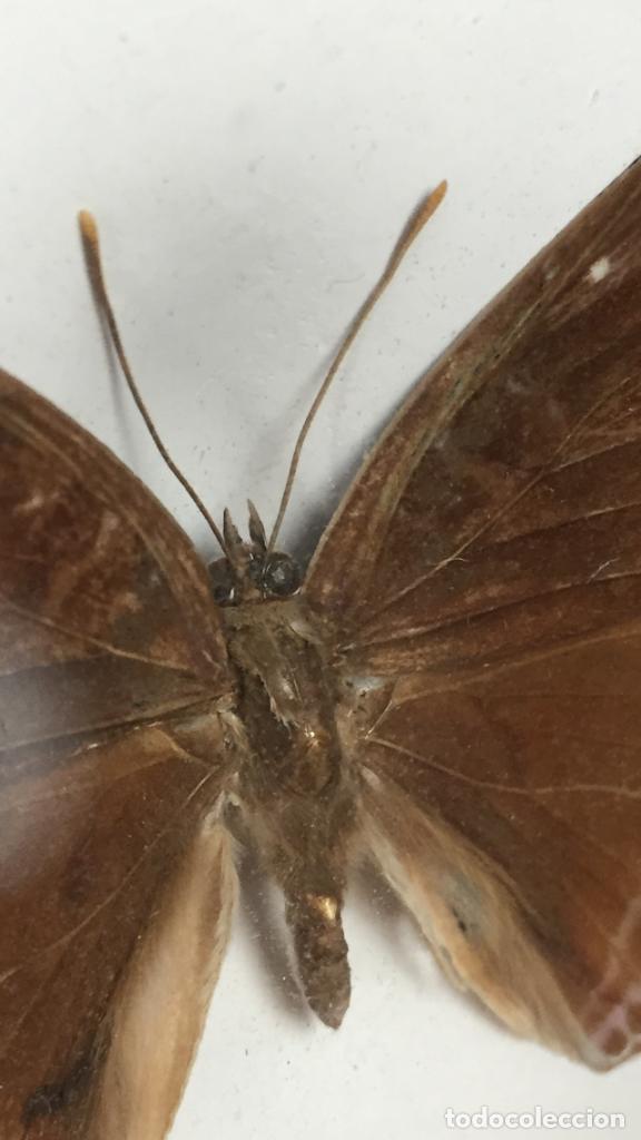 Coleccionismo de fósiles: antiguo y pequeño cuadro caja con mariposa disecada marrón metal y fieltro - Foto 11 - 122767979