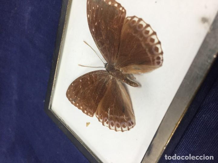Coleccionismo de fósiles: antiguo y pequeño cuadro caja con mariposa disecada marrón metal y fieltro - Foto 12 - 122767979