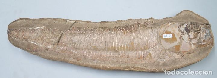 FOSIL DE PEZ. MARINO. GRANDE (Coleccionismo - Fósiles)
