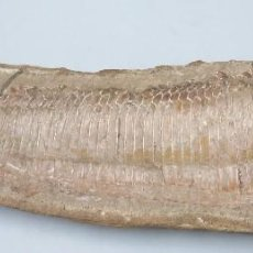 Coleccionismo de fósiles: FOSIL DE PEZ. MARINO. GRANDE. Lote 124235395