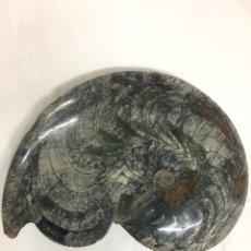 Coleccionismo de fósiles: GONIATITE AMONITE GRAN TAMAÑO. Lote 124362860