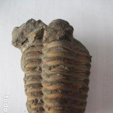 Coleccionismo de fósiles: TRILOBIT - MUCRONASPIS TRILOBITES FOSIL. EJEMPLAR COMPLETO. Lote 127575199
