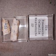 Coleccionismo de fósiles: FOSIL FRAGMENTO COLMILLO MASTODONTE SP. Lote 128608110