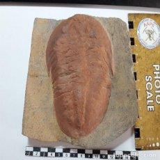 Coleccionismo de fósiles: FOSIL DE TRILOBITES ASAPHUS.ORDOVICICO MARRUECOS. PALEONTOLOGIA. UNICO.. Lote 128691871