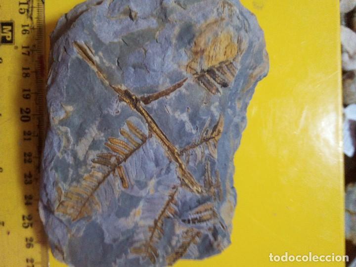PECOPTERIS PLUMOSA DENTATA (Coleccionismo - Fósiles)