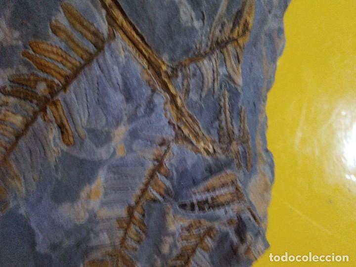 Coleccionismo de fósiles: Pecopteris plumosa dentata - Foto 2 - 129383775