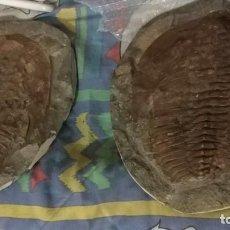 Coleccionismo de fósiles: TRILOBITE CAMBROPALLAS TELESTO. Lote 131191572