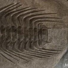 Coleccionismo de fósiles: TRILOBITE SELENOPELTIS BUCHII. Lote 131192772