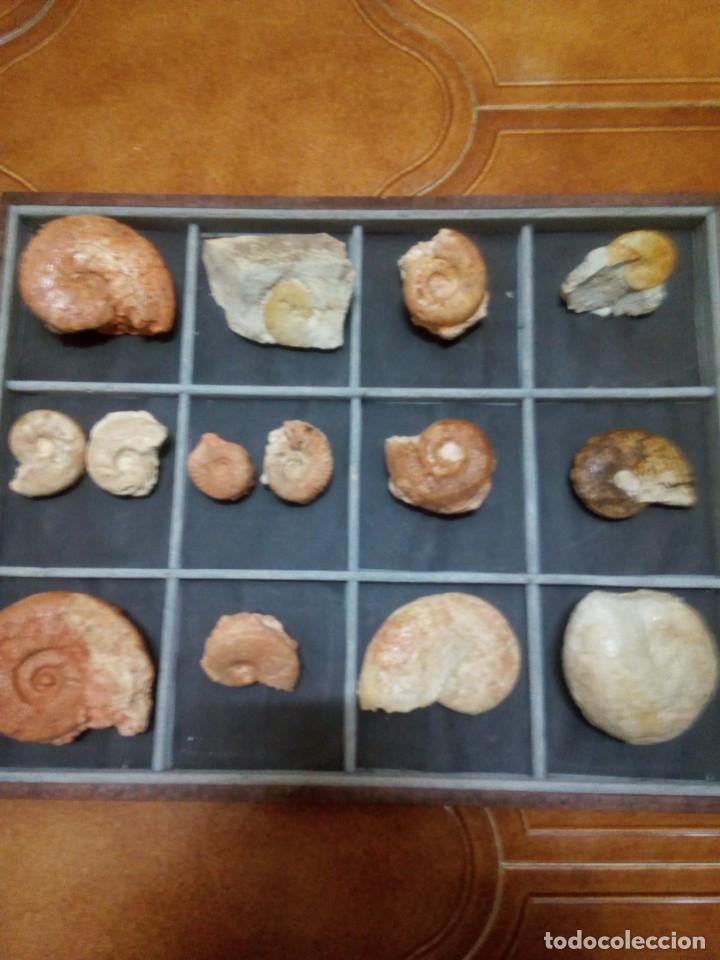 EXPOSITOR AMMONITES (Coleccionismo - Fósiles)
