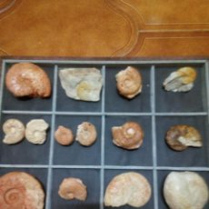 Coleccionismo de fósiles: EXPOSITOR AMMONITES. Lote 131448042