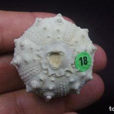 Coleccionismo de fósiles: GONIOPYGUS EMMAE SP.NOV(E,FORNER I VALLS),GONIOPYGUS SP.(AGASSIZ,1938)EB # 18. Lote 132219734