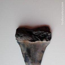 Coleccionismo de fósiles: DIENTE FOSIL DE TIBURON ISURUS HASTALIS. 4,90 CM. BUCEO. PESCA.CAZA.. Lote 132354262