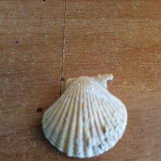 Coleccionismo de fósiles: PRECIOSO BIVALVO FÓSIL DE CONCHA MARINA. Lote 132649191