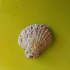 Coleccionismo de fósiles: FÓSIL DE CONCHA MARINA. Lote 132649761