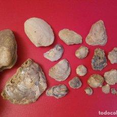Coleccionismo de fósiles: LOTE FOSIL FOSSIL GRAN OSTRA ALMEJA VIEIRA BIVALVO OSTREA BIVALVIA MOLLUSCA MOLUSCO. Lote 132942286