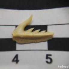 Coleccionismo de fósiles: DIENTE DE TIBURÓN FÓSIL WELTONIA ANCISTRODON, MARRUECOS . Lote 134112862
