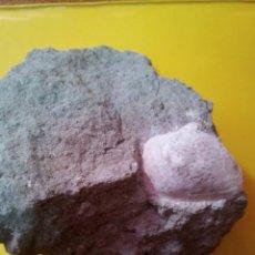 Coleccionismo de fósiles: MOLUSCO FÓSIL MACTRA SP.. Lote 136253242