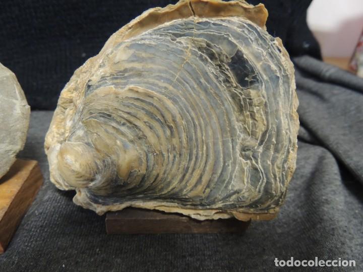 Coleccionismo de fósiles: lote 9 pzs minerales y fosiles - Foto 9 - 136292042