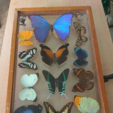 Coleccionismo de fósiles: MARIPOSAS ENMARCADAS 14 UNID. Lote 137197768