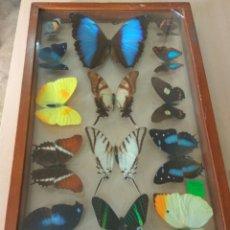 Coleccionismo de fósiles: MARIPOSAS ENMARCADAS 14 UNID.. Lote 137198305