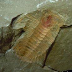 Coleccionismo de fósiles: TRILOBITES-LEUA CORBACHOI-IMPRESIÓN-ORDOVÍCICO-ZÁGORA-MARRUECOS J-924. Lote 138807634