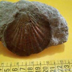 Coleccionismo de fósiles: MOLUSCO FÓSIL CHLAMYS SCABRELLA. Lote 138862882