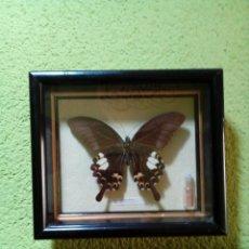 Coleccionismo de fósiles: CUADRO CON MARIPOSA DISECADA. Lote 177316970