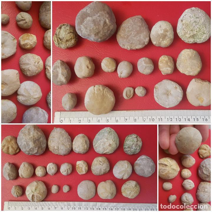 LOTE FOSIL FOSSIL 22 UDS ERIZO DE MAR EQUINODERMO ECHINOID OURSIN (Coleccionismo - Fósiles)