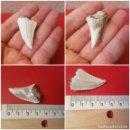 Coleccionismo de fósiles: DIENTE COLMILLO FOSIL FOSSIL SERRADO TIBURON BLANCO PEZ 4 CM. Lote 139626902