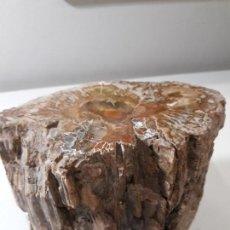 Coleccionismo de fósiles: XILOPALO PULIDO . MADERA FÓSIL. 230 MILLONES DE AÑOS, TRONCO. PESO SUPERIOR A. 2,5 KG. Lote 140442514